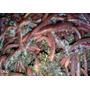 Minhocas Californianas 30u Adultas Recicle Seu Lixo Organico