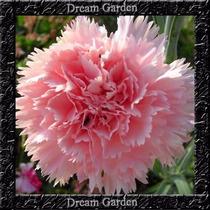 Cravo Chabaud Gigante Rosa Sementes Flor Para Mudas