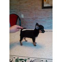 Chihuahuas Hembras Mini Pelo Corto, Las Más Pequeñas !! Fca