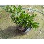 Oleo Texano Arbustos Plantas Para Cerco