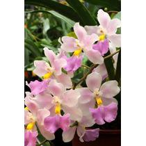 Venta De Orquídeas Cuitlauzina Pendula