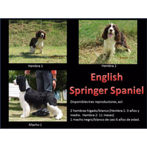 Springer Spaniel & Golden Retriever