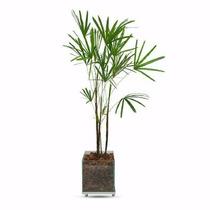 Palmeira Rafis No Vaso De Vidro Completão - Promoção