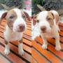 Filhote Pit Bull Fêmea - Pitbull Red Nose, Branco, Pirata