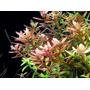 Rotala Rotundifolia Planta Acuario