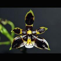 Muda De Orquídea Rara Multiflora Flores Pretas Fácil Cultivo