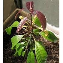 Planta Arbol De Mango