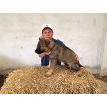 Cachorro Pastor Aleman Sable Linea Checa 100% De Trabajo