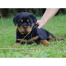 Rottweiler - Filhotes Altamente Selecionados-frete Gratis Sp