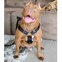 Coleira Peitoral Cachorro + Guia Raça Grande Pitbull Boxer
