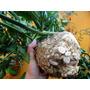 Apio-nabo Gigante De Praga Huerta Semillas Para Plantas