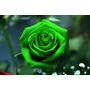 Semillas De Rosa Verde, Exótica, Flor Verde, Semilla De Rosa