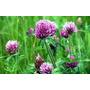 150 Semillas De Trebol Rojo, Trifolium Pratense