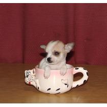 Chihuahuas De Bolsillo Vacunados Y Des. Los Espectacular !!!