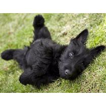 Bonitos Cachorros Terrier Escoces Legitimos Ferrioni