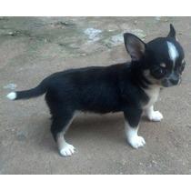 Chihuahua Macho Tricolor Neto De Europeus.