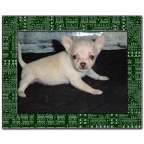 Chihuahuas Hembr De Bolsillo Vacunados Y Des. Los Mas Lindos