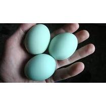 Ovos Galados Azuis De Indio Gigante 15 Ovos Selecionados