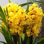 10 Sementes Orquídea Cymbidium Amarela Planta Flor Rosa