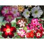 Paquete De 10 Rosas Del Desierto Plantas Diferentes Colores