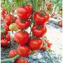 50 Sementes Tomate Gigante De Arvore Italiano + Frete Grátis
