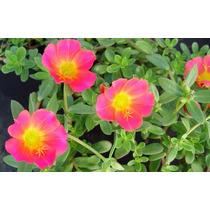 Verdolaga De Flor 20 Semillas Flor Jardin Sol Nmp Sdqro