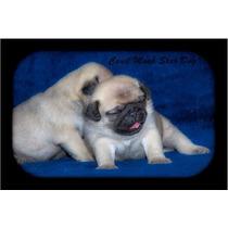 Pug Mini Abricot Macho, Lindos Filhotes Pug, Com Pedigree