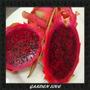Semente Pitaya Polpa Vermelha 30 Sementes + Brinde