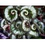 Exóticas Raras Irresistibles Planta Begonia Caracol!!! (avl)