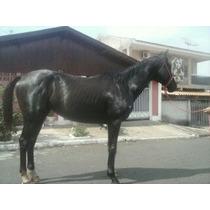 Vendo Cavalo Mestiço Argentino Com Ingles 3 Anos Garanhao