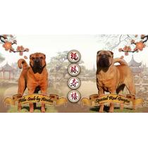 Cachorros Shar Pei - Fca Pedigree - Sharpei