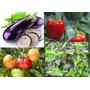 12 Plantines Tomate, Berenjena, Morrón Y Albahaca Huerta