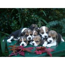 Espectacular Cabaña De Beagles-cabaña Scaligers-cachorros