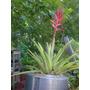 Aechmea Distichantha -bromelia Epifita, Rupicola Y Terrestre