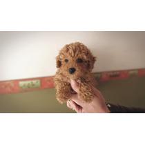 Caniche Mini Micro Hembra Apri Rojo Cachorros! (consulte)