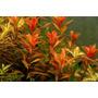 Palustris Cuba Plantas Acuáticas Peces