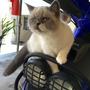 Gatito Persa Exótico(pelo Corto)bicolor Himalayo Punto Azul