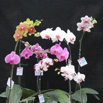 Orquídea Phalaenopsis (kit Com 10 Mudas)