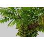 Grosella Verde/aceituna De La India Con Frutos.despacho Grat