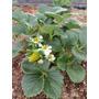 Plantin De Frutilla Maceta Nro 6