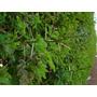 Cerco Vivo Protección Acacia Capensis 40 A 50 Cm Aprox<br><strong class='ch-price reputation-tooltip-price'>$ 650</strong>