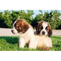 San Bernardo Cachorros De Calidad