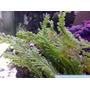 Alga Marina - Caulerpa Cylindracea