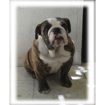 Bulldog Ingles Atigrado