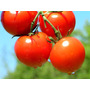 Semillas De Tomate Cherry. Concentracion De Sabor Y Frescura