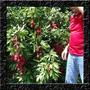 Lichia Anã Para Vasos Sementes Selecionadas Fruta Para Mudas