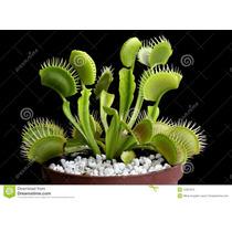 Plantas Carnívoras Mudas Dionaea Venus Papa Mosca Flores