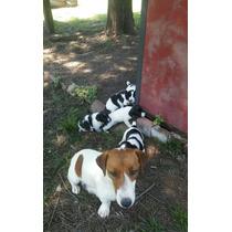 Jack Russel Terrier Cachorros Cruza Con Fox Terrier