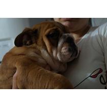 Filhote Bulldog Inglês Ótima Linhagem Pedigre Cbkc Microchip