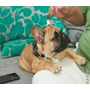 Cachorro, Bulldog Francés Red Fawn